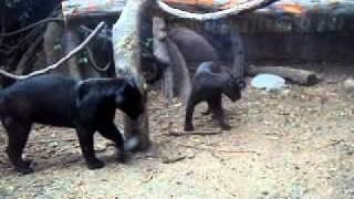 Pelea De Las Panteras Negras Humala Y Keiko En El Bosque