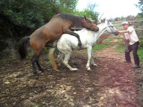 Cobrindo minha égua !!! - YouTube