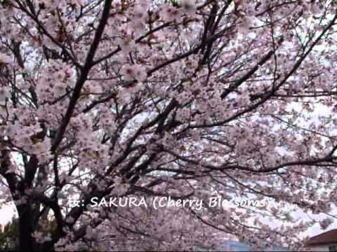 The KAZU TIME Show-SAKURA (Cherry Blossoms): 桜!