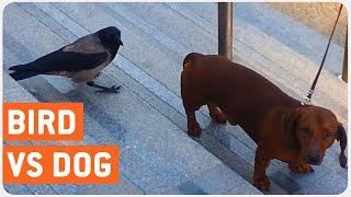 Bird Attacks Dog