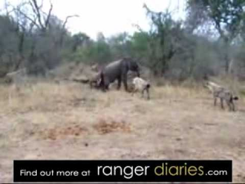 Hyena Killing Elephant