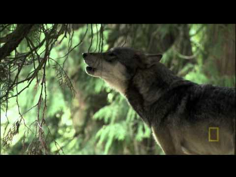 A Man Among Wolves, Shaun Ellis has joined a pack of wolves, living and behaving like them. Abandoned at birth, three wolf pups are raised by Shaun who then teaches them the ways of the wild. As they grow up, he feeds, sleeps and breaths the same air.