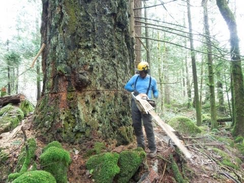 Cutting Down a Huge Fir Tree