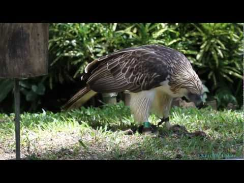 "Philippine Eagle (""Mindanao"") feeding 2/3"