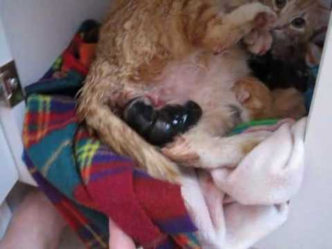 Pregnant cats, birth and care of young kittens