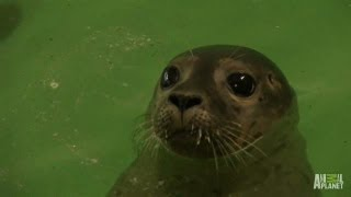 Rescued Seals to Go Home
