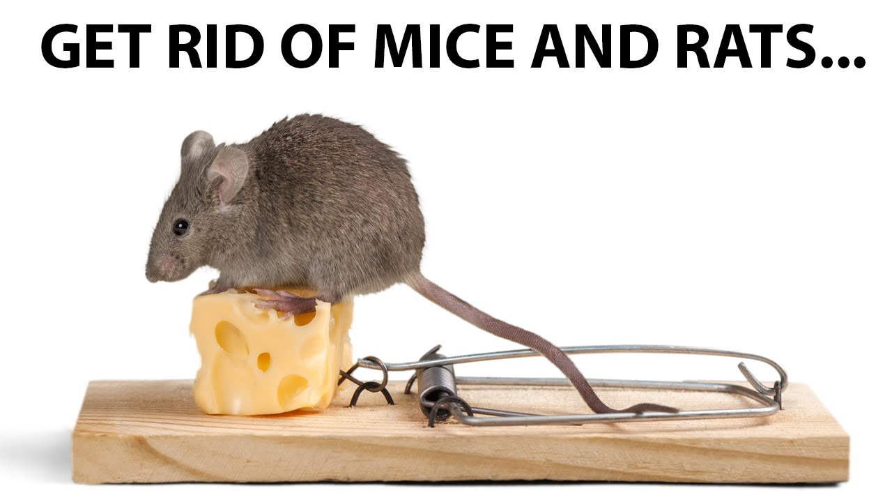 How To Get Rid of Mice and Rats  YouTube