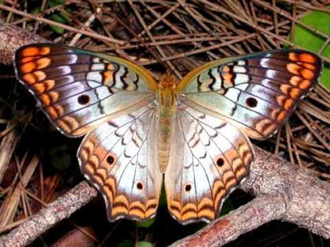 ЖИВЫЕ ЦВЕТЫ, butterfly imagens