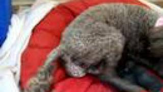 Toy Poodle Giving Birth Graphic
