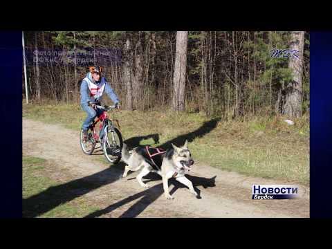 Гонки собачьих упряжек прошли в Бердске