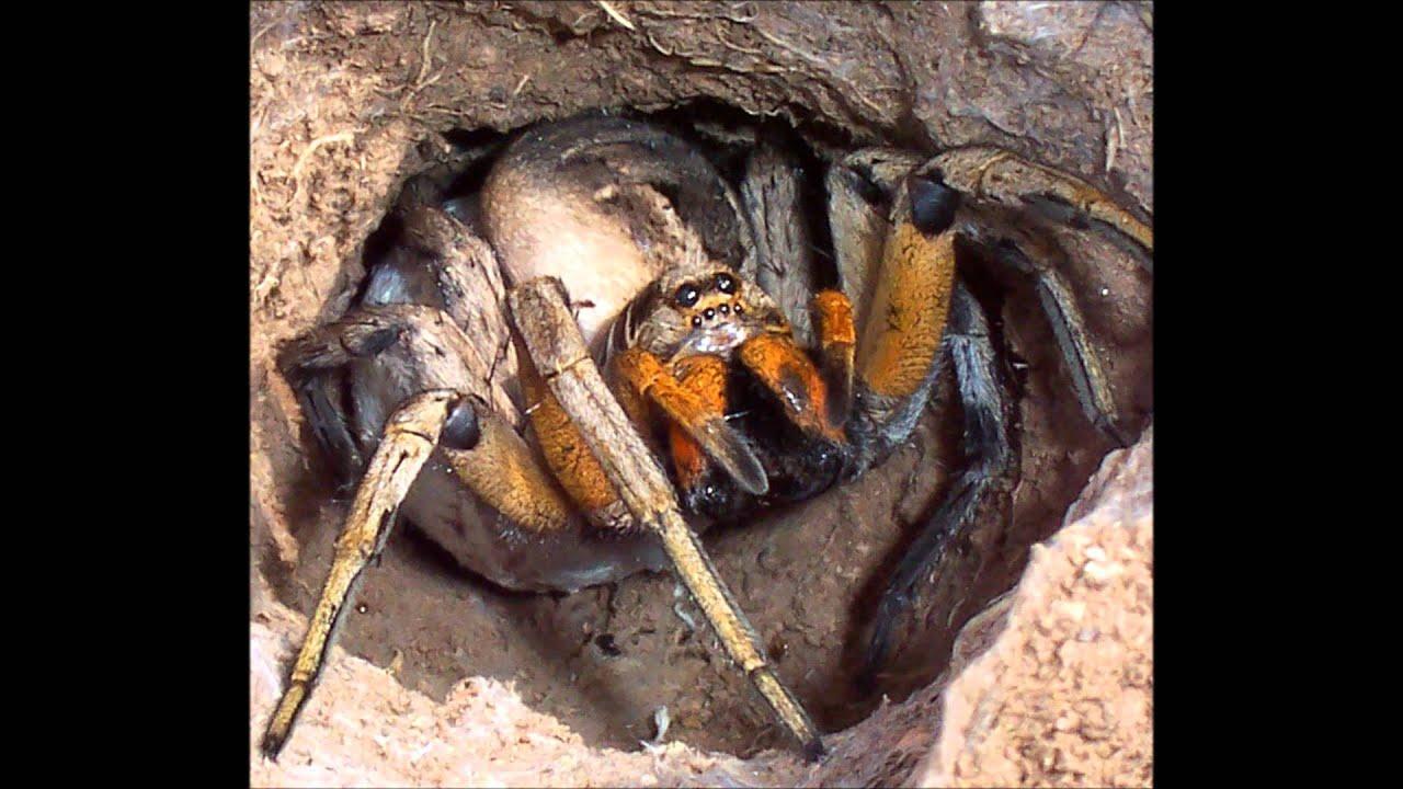Giant camel spider bites