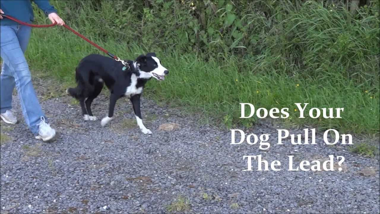 how to walk a large dog that pulls