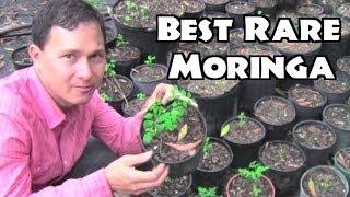 Best Moringa To Grow & Rare Herb Nursery