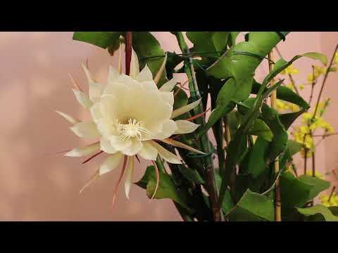 Hoa Quỳnh (Epiphyllum oxypetalum - 曇花一現 - 月下美人)