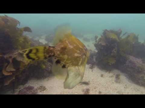 Snorkeling with a super friendly blue groper!