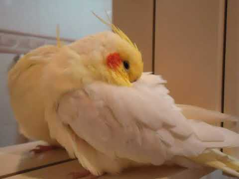Calopsita FALA e CANTA - só vendo para acreditar !!!! (Cockatiel that talks and sings) (ORIGINAL)
