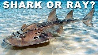 GIANT SHARK RAYS!