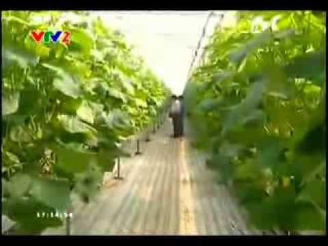 Canh tác nông nghiệp thời @ - Dưa leo sạch và an toàn