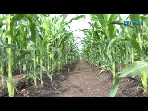 Padi Pantalu - Exclusive agricultural program- Part 2