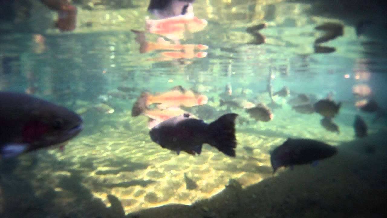 Fish attacks camera bonneville dam oregon youtube for Hansen dam fishing