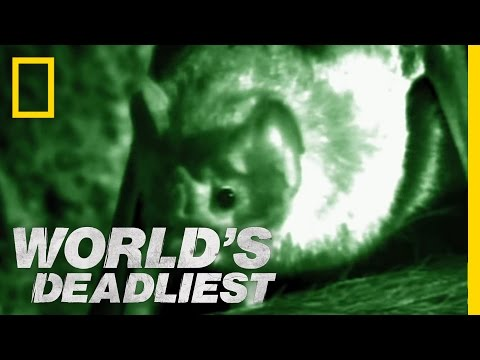 World's Deadliest - Vampire Bats