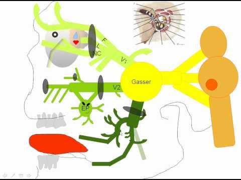 Anatomía: Cabeza - Nervio Trigémino