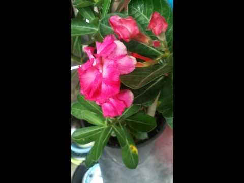 Hoa sứ mother