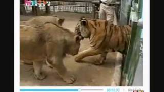 Tigers Vs Lions : Fighting Battle