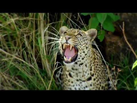 Thế giới động vật: Hé lộ về báo hoa mai - loài vật họ mèo đầy bí ẩn