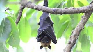 Ze Frank: True Facts about the Fruit Bat