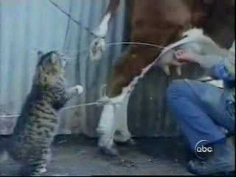 CAT DRINKS MILK DIRECTLY FROM THE COW