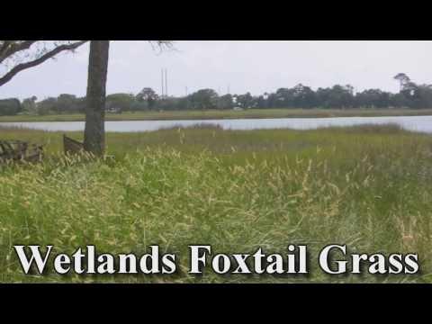 Wetland Foxtail Grass Perennial Shrub