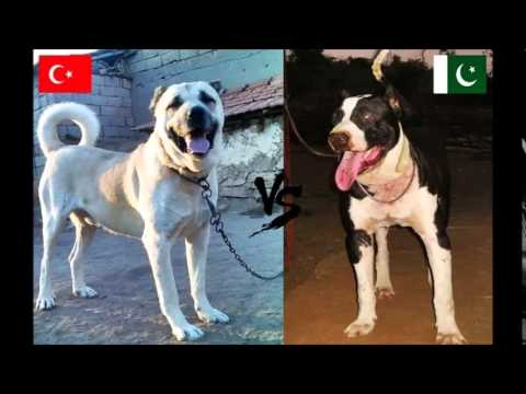 Kangal (Turkey) -Vs- Bully Kutta (Pakistan) -Dog Fight-