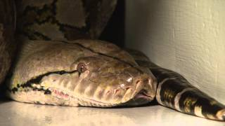 2013 Guinness Worlds Largest Snake In Captivity In The