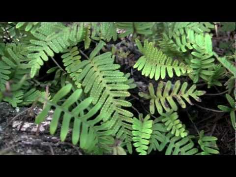 Resurrection Fern, a plant with amazing superpowers: time-lapse