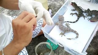 Dọn vệ sinh cho tắc kè | How to clean your gecko tank