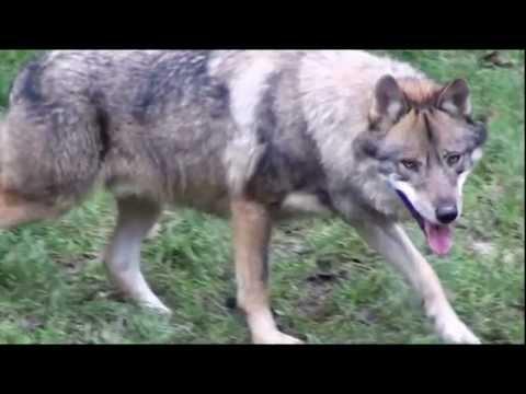 Parc de Courzieu : loups et rapaces en liberté. Animaux sauvages, non ! Wolves