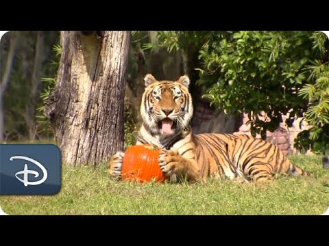 Disney's Animal Kingdom Wildlife Treated to Pumpkins for Halloween