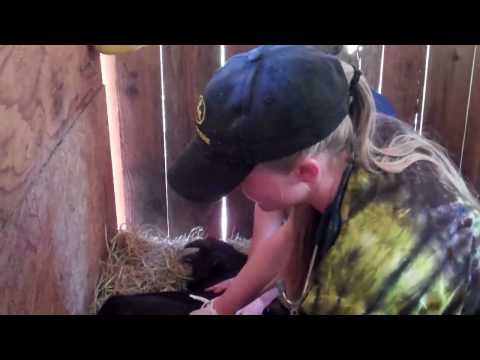 Simon the goat gets castrated