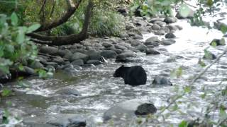 [Black Bear Fishing (watch in HD for a nice clear video)] Video