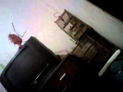video burung sertu/cipoh mulai berkicau