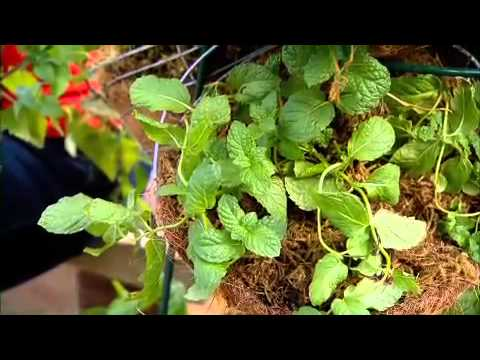 The Garden Gurus - Shirley's Herbs