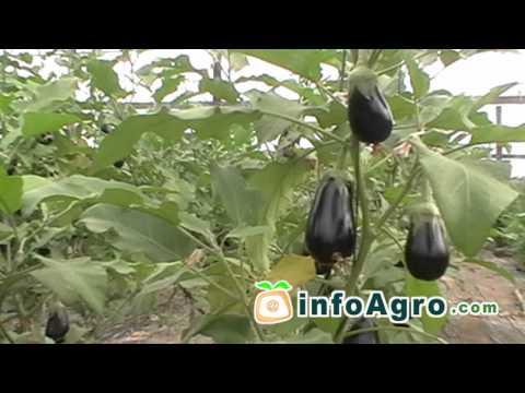 Cultivo de la berenjena. 1ª parte