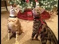 Reindeer Cats, Christmas Bengals video