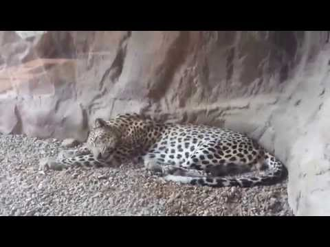 Arabian Leopard at Arabia's Wildlife Centre in Shj