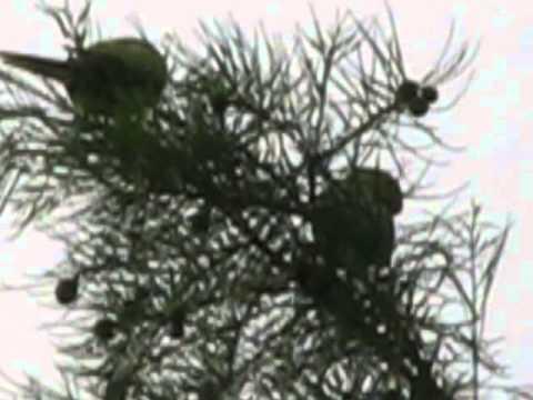 Papagali liberi prin pomii din  parcul Tineretului- 2014