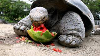 [17 Thrilling Seconds Of A Galapagos Tortoise Eating Watermelon] Video
