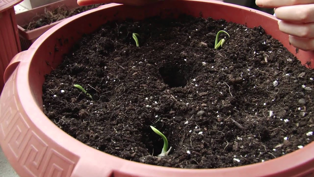 how to grow garlic in containers youtube. Black Bedroom Furniture Sets. Home Design Ideas
