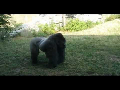 Silverback gorilla scares people at the zoo