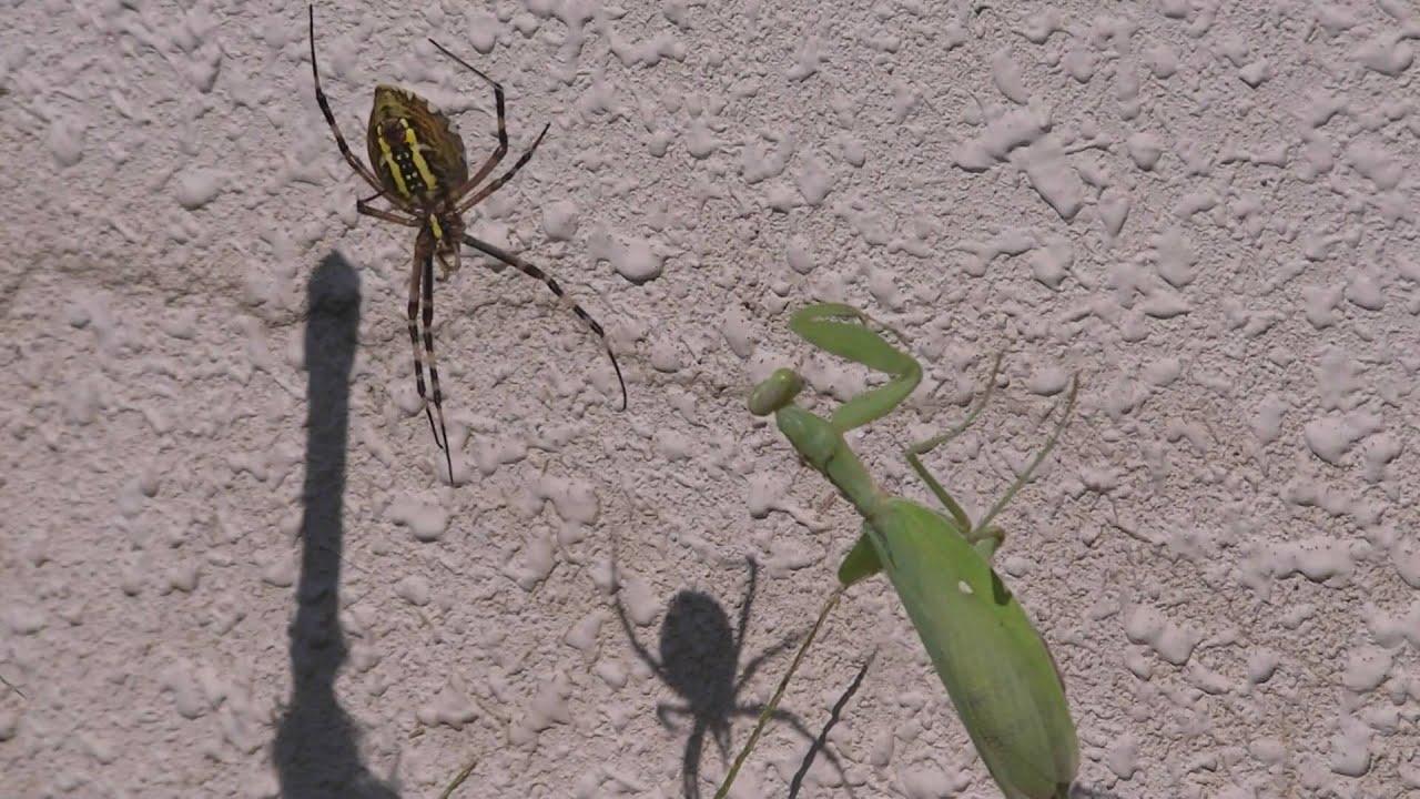 Praying Mantis VS Spider かまきりVSくも - YouTube